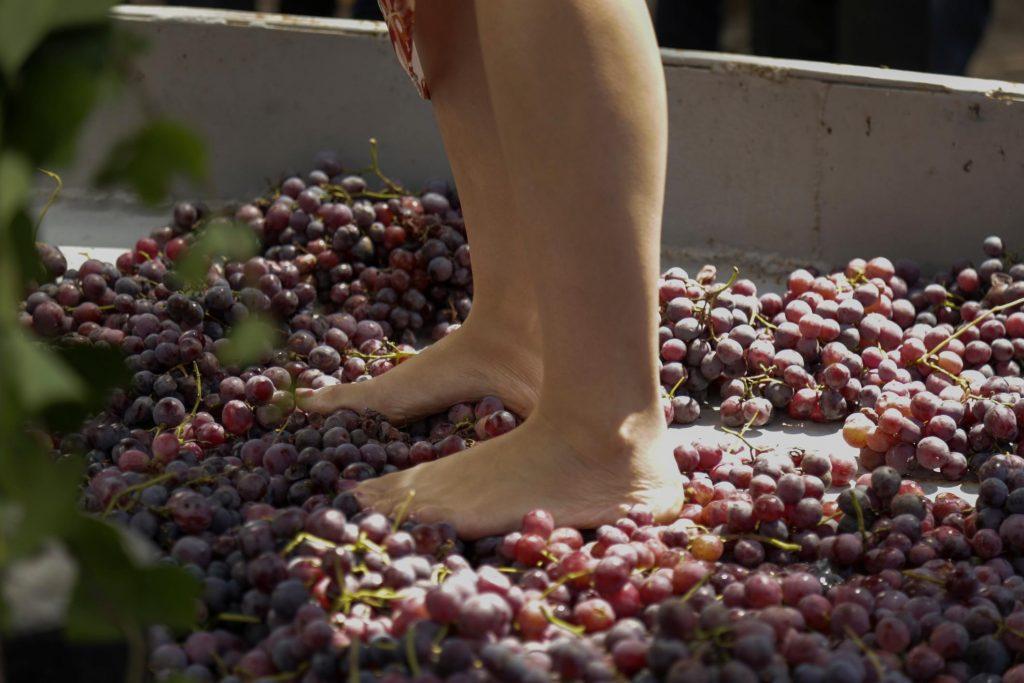 Trauben werden auf Madeira noch mit Füßen gestampft