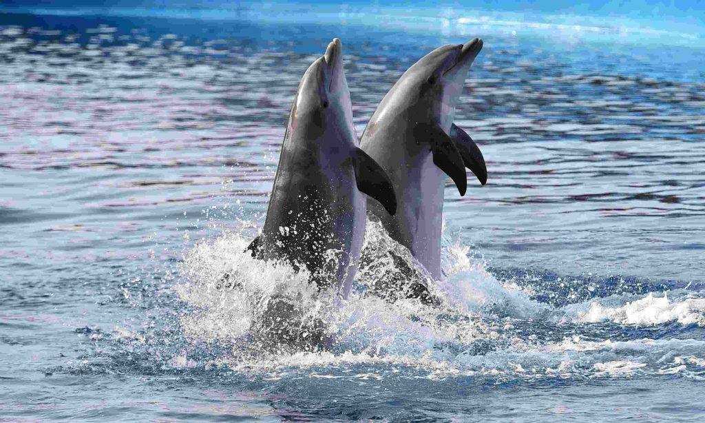 2 Delfine im Atlantik bei Madeira