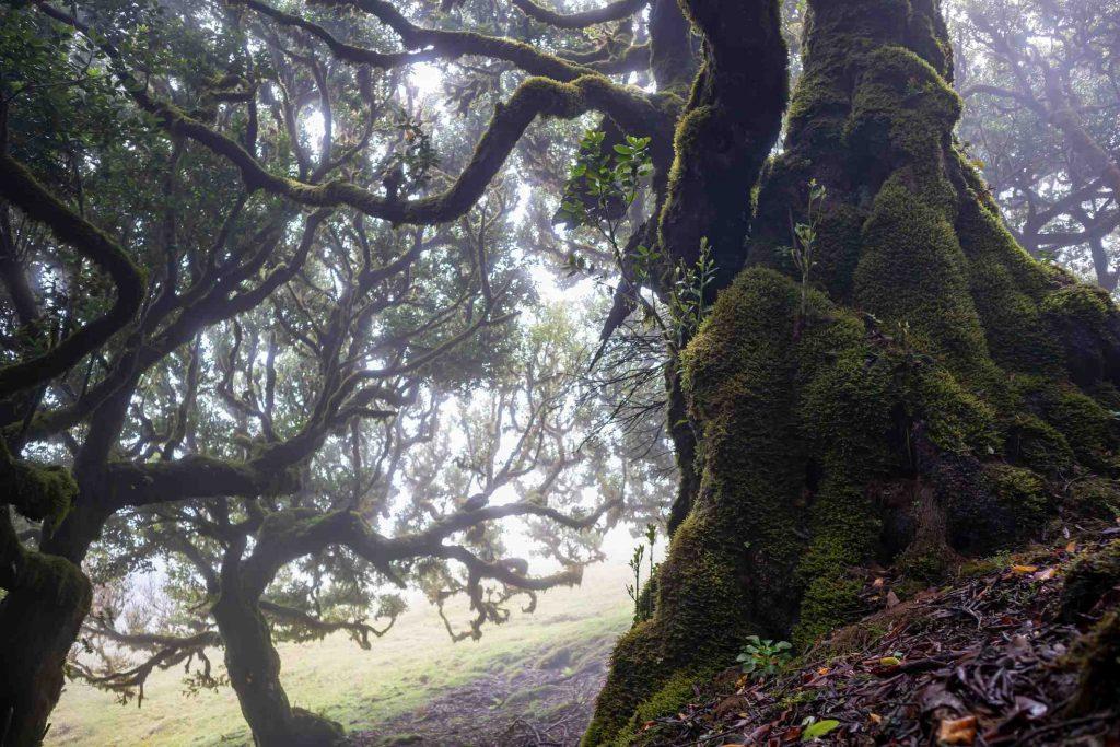 Lorbeerwald auf Madeira