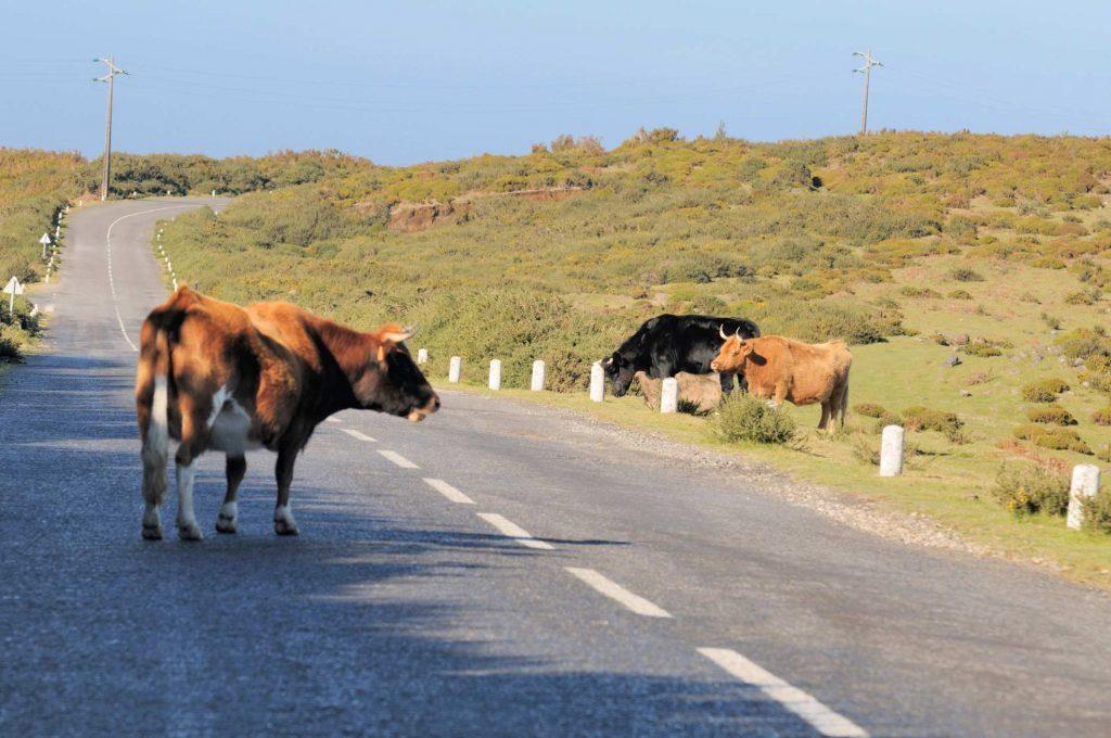 Kühe auf dem Hochplateau Paul da Serra auf Madeira