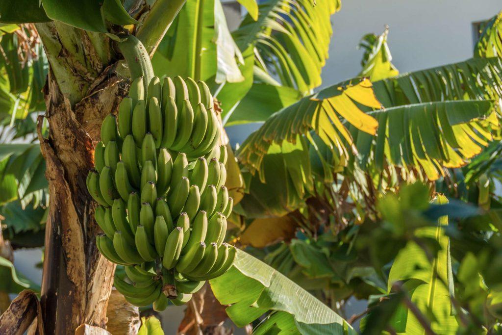 Bananenplantage auf Madeira